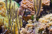 pterapogon fish in aquarium von Antonio Scarpi
