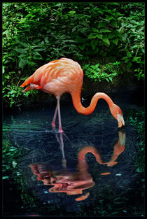 American flamingo / Kubaflamingo by nameda
