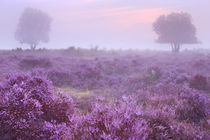 Heathland in full bloom at sunrise von Sara Winter