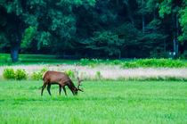 Elk by digidreamgrafix