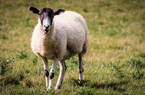 Sheep by Jeremy Sage