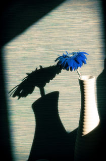 Blue Gerbera by cinema4design