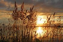 Gräser im Abendlicht by Gerhard Albicker