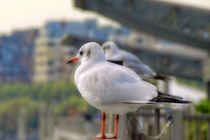 observant gulls by ursfoto