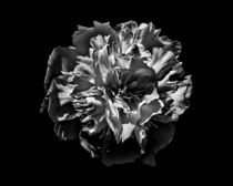 Backyard Flowers In Black And White 3 von Brian Carson