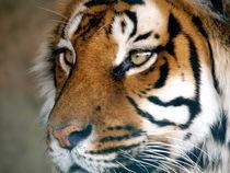 Tiger by smk