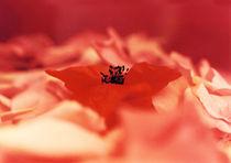 Mohn auf Rosen von Gabriele Köder - Bercher