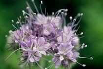 Makro Blüte / macro flower1 by nicolelovespictures