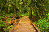 Path through lush temperate rainforest by Sara Winter