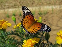 Japanese Butterfly Among Marigolds by Richard H. Jones