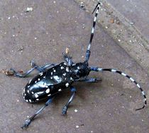 Kamikiri-mushi-papercutter-beetle-wm-xl