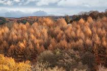 Autumn Larch von David Tinsley