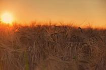 Kornfeld im Sonnenuntergang by maldesowhat