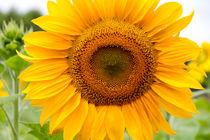 Sonnenblume by Lars Niebling