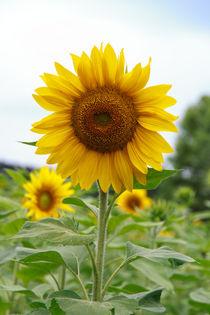Sonnenblumen-5647