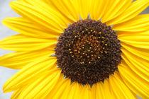 Sonnenblumen-5701