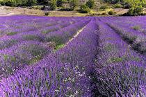 Lavendel by Jürgen Feuerer