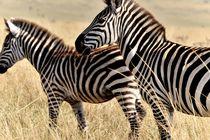 Zebras von Jürgen Feuerer