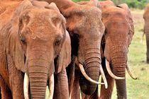 Elefantenköpfe von Jürgen Feuerer