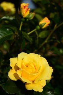 Gelbe Rose von gscheffbuch