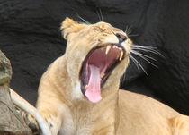 Löwenmaul von Lars Niebling