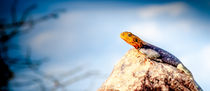 Kenyan Rock Agama  by Jim DeLillo