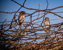African Owls von Jim DeLillo