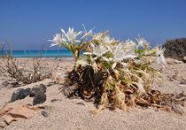 Blume am Strand der Insel Chrisi bei Kreta von Mark Gassner