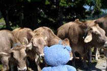 Allein gegen die Kühe von Olga Sander