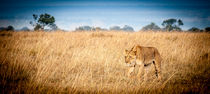 Stalking Lion - Kenya, Africa on safari by Jim DeLillo