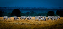 Field Of Feeding Zebra von Jim DeLillo