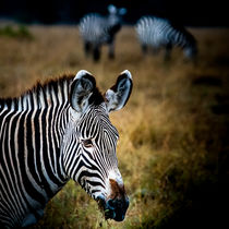 Portrait of a Zebra von Jim DeLillo