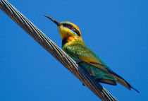 Bird on a wire (Rainbow Bee eater) by mbk-wildlife-photography