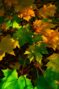 'Autumn Sycamore' by David Tinsley