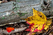 Maple Leaf in Glorious Color by Jim DeLillo