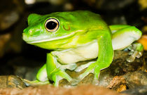 White-lipped Tree Frog Queensland Australia von mbk-wildlife-photography
