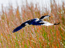 Little Pied Cormorant in flight, Mareeba Wetlands, Queensland, Australia von mbk-wildlife-photography