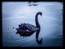 Black Swan by magique-digital