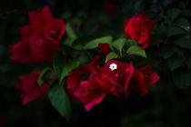 Scarlet Cradle von Mario Morales Rubi