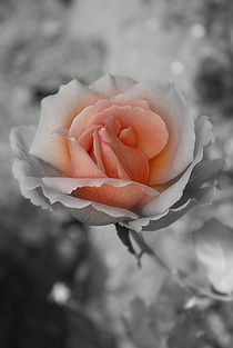 'Heart Of A Rose' von CHRISTINE LAKE