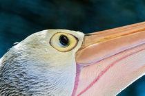 Pelican-portrait-3