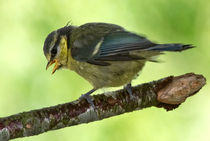 Blue Tit Fledgling's first day out by mbk-wildlife-photography