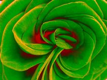 Red and green rose von Amanda Elizabeth  Sullivan