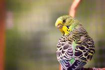 Budgerigar Bird by Vicki Field