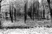Autumn woods 3 bw by Joseph Borsi