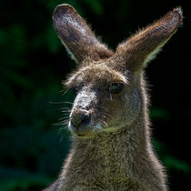 Kangaroo in Queensland von mbk-wildlife-photography
