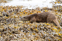 Beautifully camouflaged Otter on the Isle of Mull, Scotland, UK by mbk-wildlife-photography