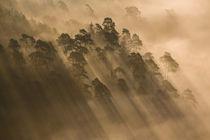 Schatten im Nebelwald II