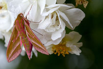 Elephant-hawk-moth-on-wild-rose