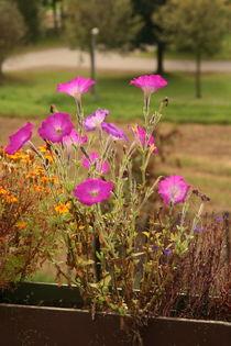 Pink flowers at the patio von atari-frosch